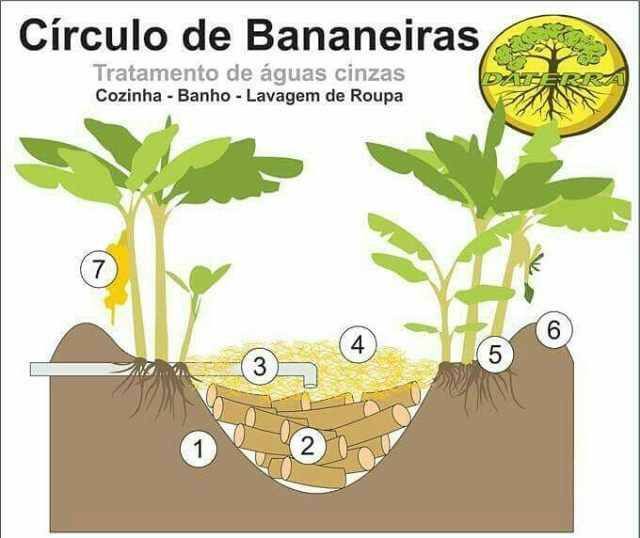 bananeira1